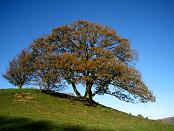 Tree in Wye Valley, Powys, Mid Wales, UK